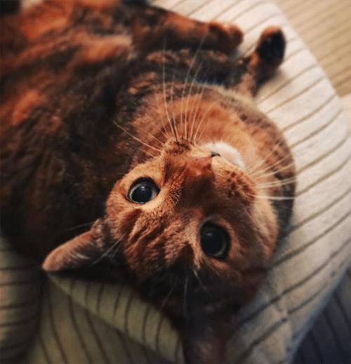 rh radial hypoplasia cat