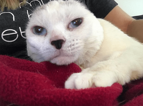 white earless senior cat