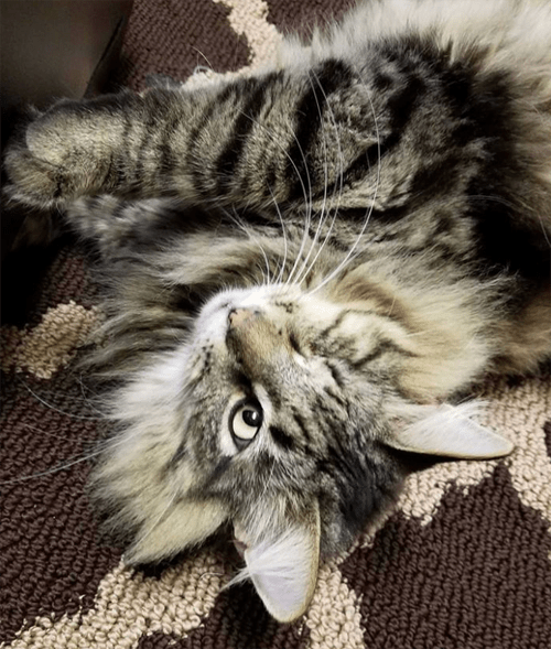 one eyed maine coon cat