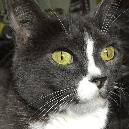 ch wobbly cerebellar hypoplasia cat