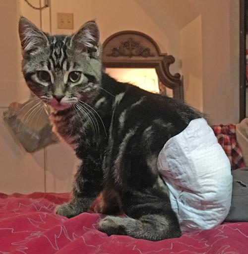 manx kitten with spina bifida