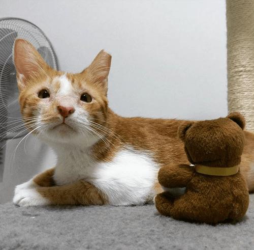 orange and white cat with eyelid agenesis