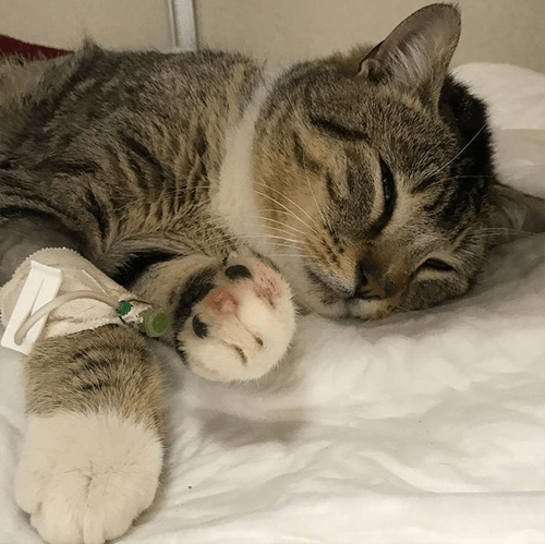 cat who survived being shot