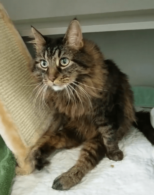 paralyzed maine coon diaper cat
