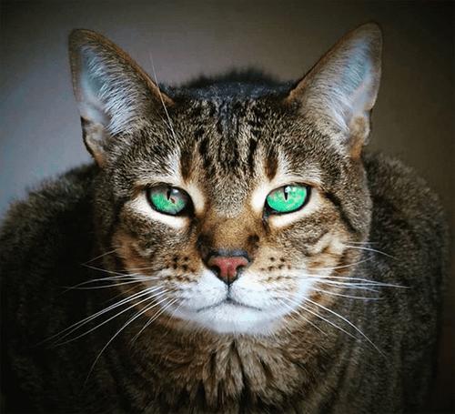 special needs bengal cat