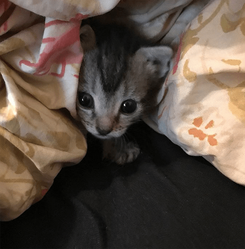tabby dwarf cat