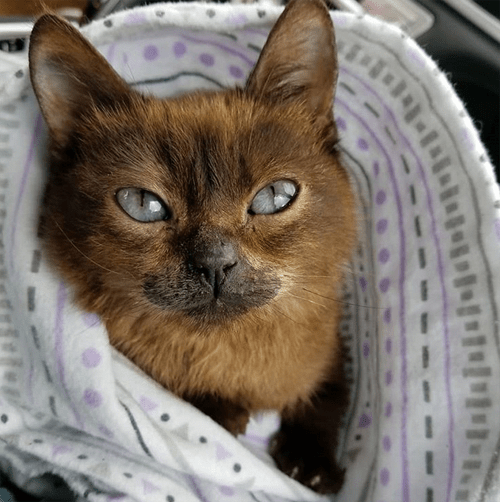 siamese cat with dwarfism hydrocephalus