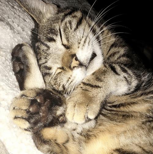 senior tabby cat with ear polyps