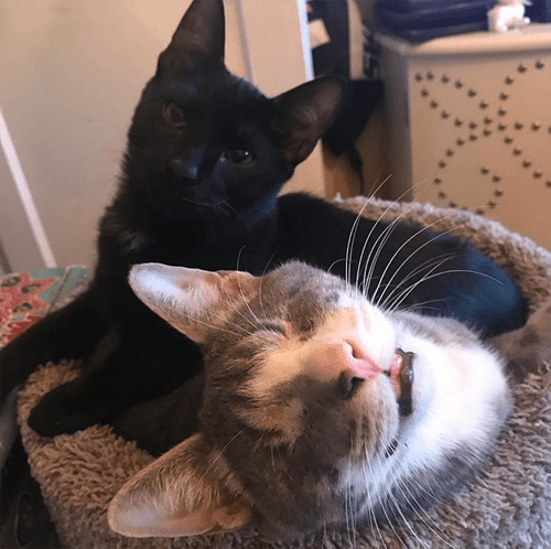 black wobbly kitten therapy cat