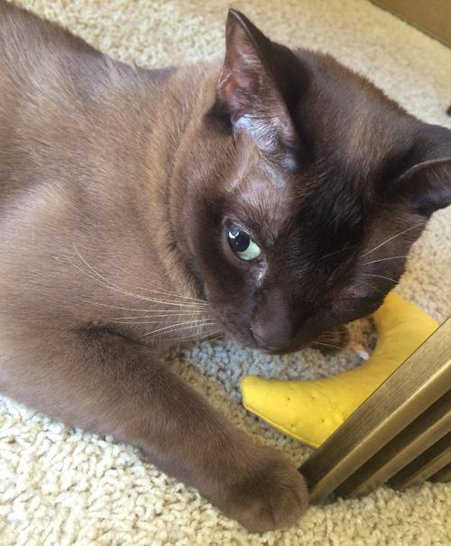 one eyed cat feline diffuse iris melanoma survivor