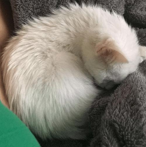 one eared cat with feline leukemia virus