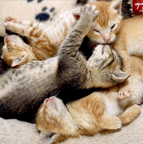 orange rescue cat with feline eyelid agenesis