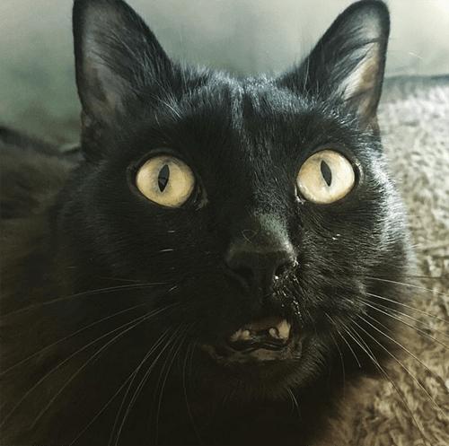 black kitten with cerebellar hypoplasia