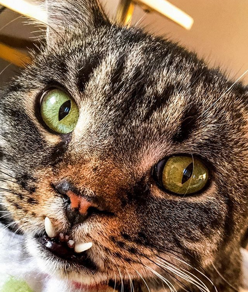 rescue cat with underbite and scoliosis