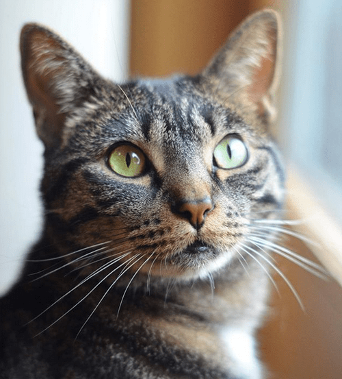 rescue cat with feline hyperesthesia syndrome