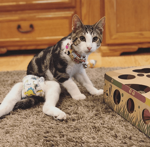 rescue kitten with hind leg paralysis