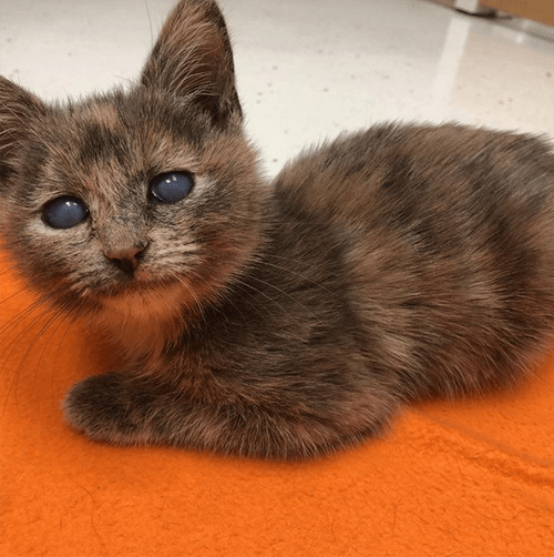 tortie dwarf kitten with corneal endothelial degeneration