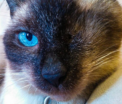 one eyed siamese clinic cat