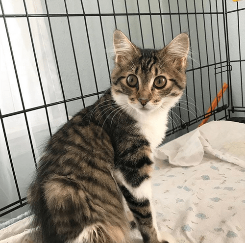 rescue kitten paralyzed incontinent