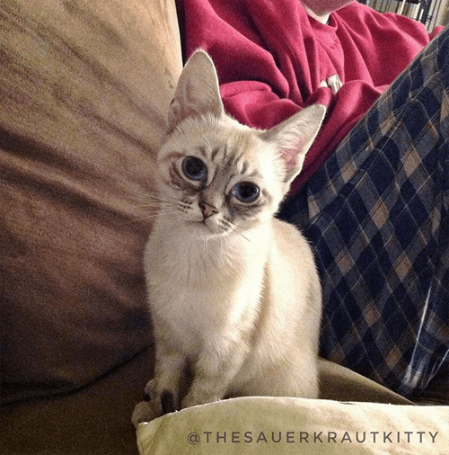 siamese rescue cat with feline hyperesthesia