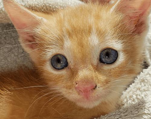 orange paralyzed rescue kitten