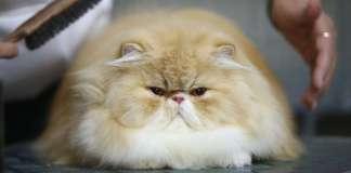 Коткаст Beardycast