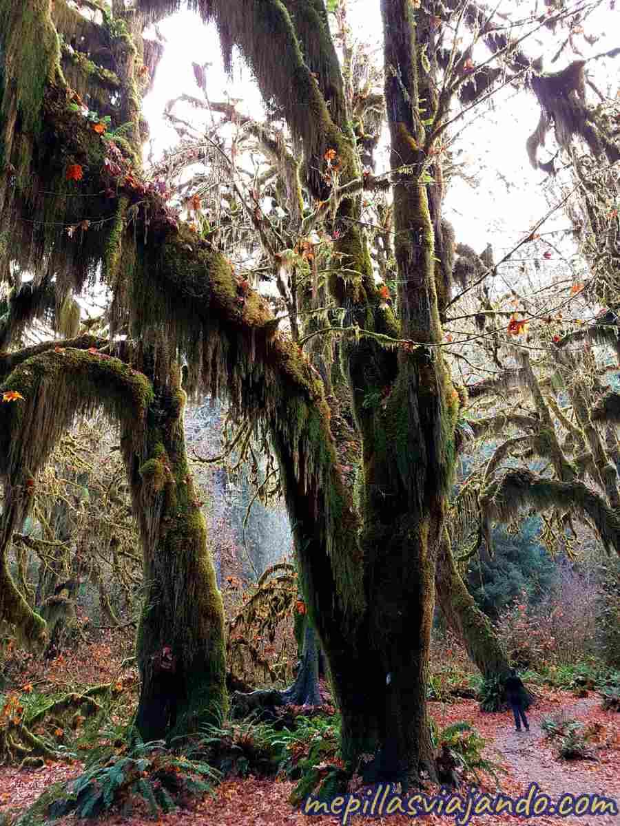 El bosque de lluvia Hoh