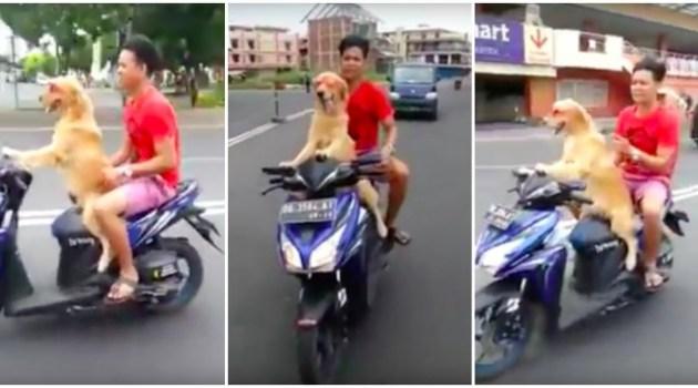 Cachorro leva o seu dono pra da uma volta de Scooter