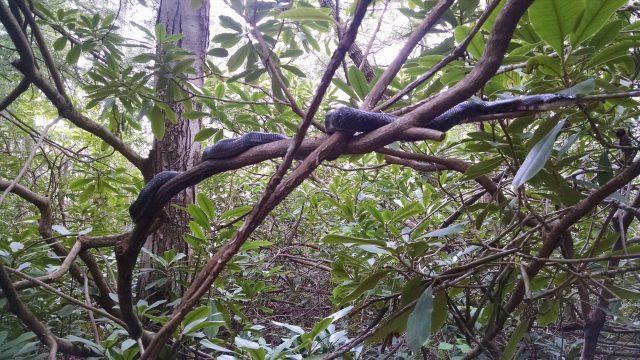 IMG_20160521_Black snake