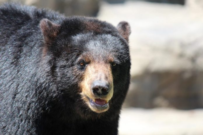 Bear sightings in Princeton near Bunn Drive and Autumn Hill Road