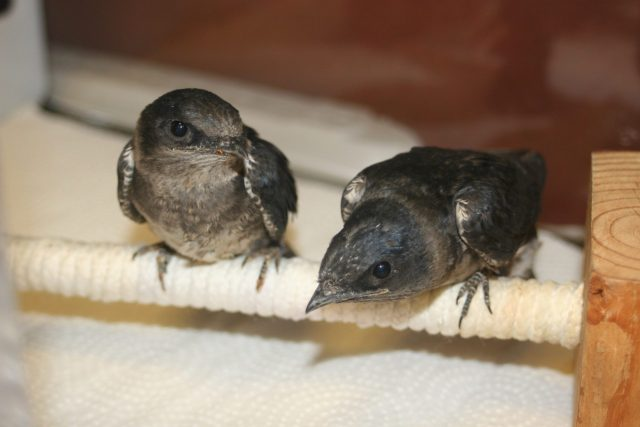 Purple Martins - Day 14 (Photo courtesy of Mercer County Wildlife Center)