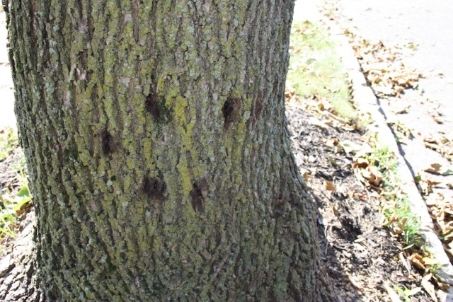 Holes marking an Ash tree's infestation with the Emerald Ash Borer beetle