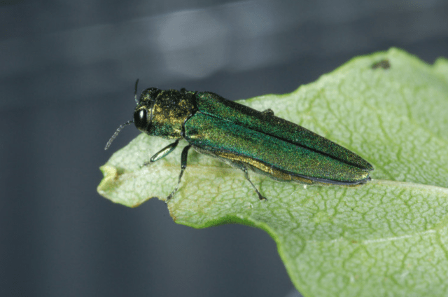 The Emerald Ash Borer beetle