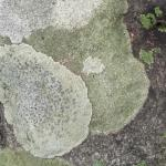 Lichen close-up photo by Laurie Cleveland