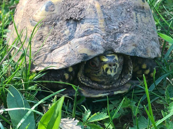DEP Urges Motorists to Watch for Turtles Crossing Roadways During Nesting Season
