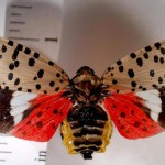 An adult spotted lanternfly. Photo courtesy of the New Jersey Department of Agriculture