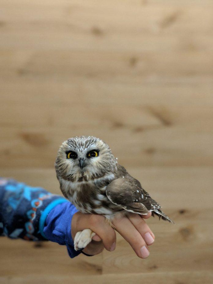 Park Commission to Host Saw-Whet Owl Banding Program