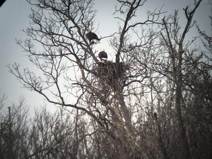 Park Commission Announces Nesting Eagles in Parks