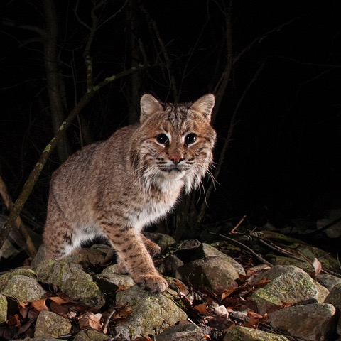 Bobcats in the Sourlands