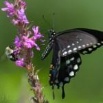 Swallowtail bumblebee brenda jones