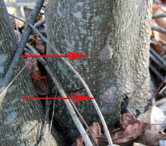 Search for and destroy Spotted Lanternfly eggs