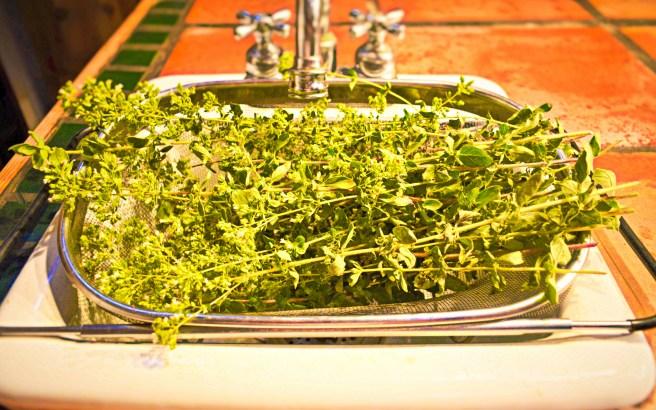 Fresh from the garden ~ intensely flavored, flowering Greek oregano