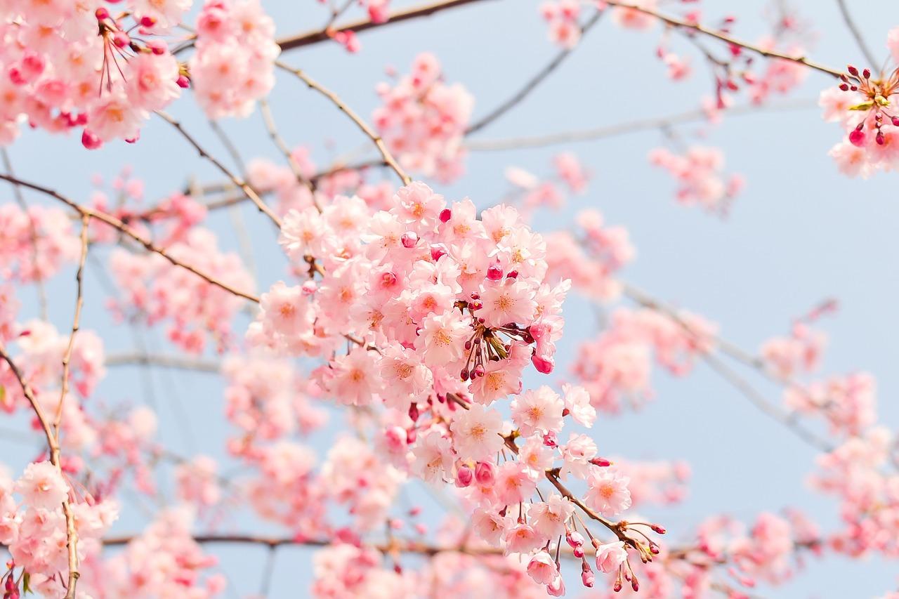 Cerisiers en fleurs au Japon