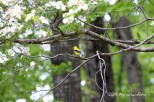 2014 Goldfinch on a Dogwood branch. Fork Union, Virginia