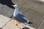 2012. Squeaky clean seagulll