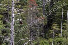 Misty Fjords National Monument - Eagle