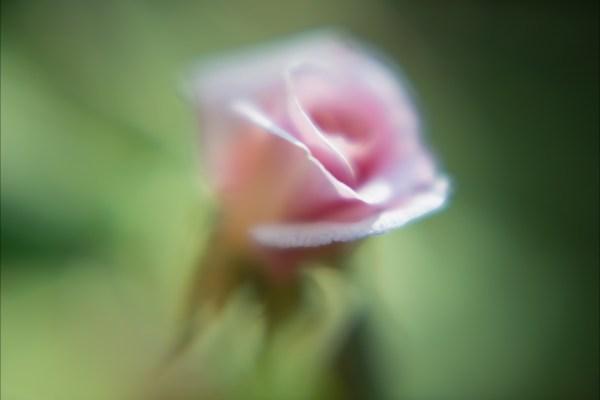 A Dozen Little Roses (#9) (2014), digital C-print, 30 x 45 inches