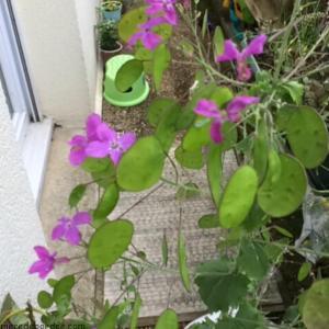 Cette jolie plante s'appelle Monnaie du Pape. Elle me fait de l'oeil sur le balcon de ma voisine. A tel point qu'elle va me refiler quelques graines pour que je tente des boutures. Quand je vous dit que je suis addict !