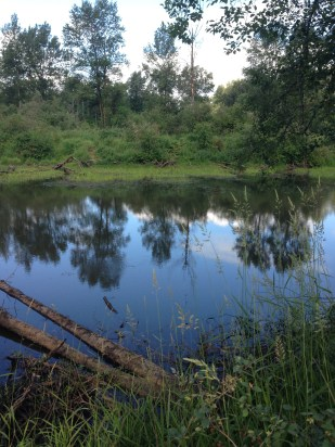 An isolated wetland in the Chehalis floodplain