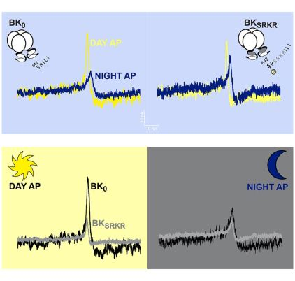 Alternative splicing changes action-potential evoked BK current between the day and night